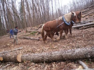 Débardage au cheval : Démonstration et Initiation
